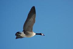canada_geese.jpg